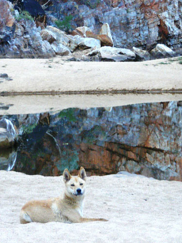 Dingo-at-Ormiston-crop