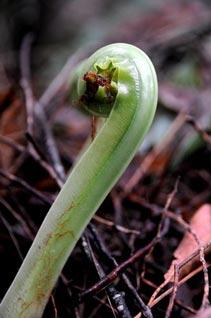 fern-unwinding-small