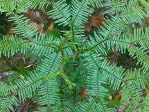 ferns-small