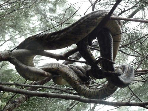 snake-in-tree-R-sm