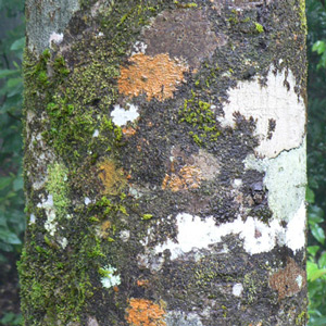 Tree-trunk-K-300