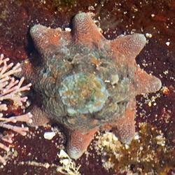 FSC-Starfish-33-250sq
