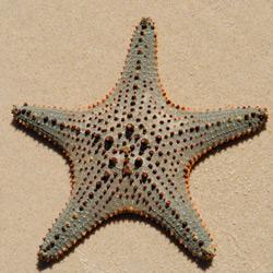 Starfish-V-250-2