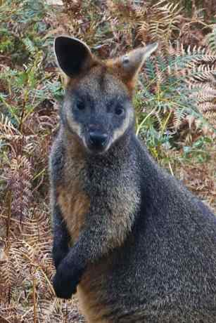 Wallaby-966